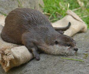 Comeback des Otters?