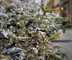 Das kurze Leben der Weihnachtsbäume